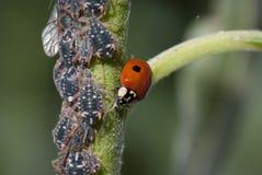蚜虫 免版税库存照片