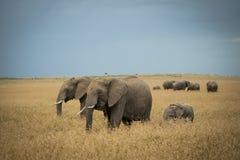 大象牧群  图库摄影