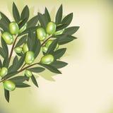 与叶子的橄榄树枝 免版税库存图片