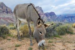 野生驮货驴子 免版税图库摄影