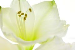 Конец белой лилии вверх Стоковое фото RF