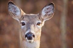大母鹿眼睛 图库摄影