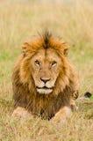 Το αρσενικό λιοντάρι κοιτάζει επίμονα Στοκ Φωτογραφία
