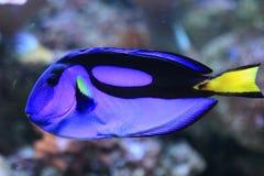 蓝色矛状棘鱼 库存图片