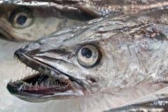 牙鱼 免版税库存图片