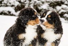 伯尔尼的山狗木偶嗅每其他 免版税库存照片