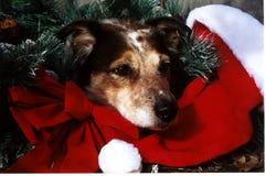 圣诞节狗 图库摄影