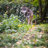 Γκρίζος/ευρασιατικός λύκος Στοκ φωτογραφίες με δικαίωμα ελεύθερης χρήσης