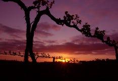 лоза силуэта виноградины Стоковое фото RF