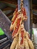干燥玉米棒子 免版税库存照片