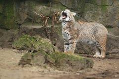 打呵欠的美洲野猫 免版税库存图片