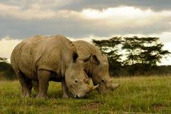 吃草二头空白的犀牛 库存图片