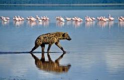 鬣狗在水中 免版税库存图片