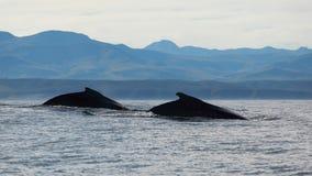 二条驼背鲸 库存图片