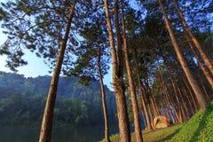 黄色野营的帐篷在杉木森林里 库存照片