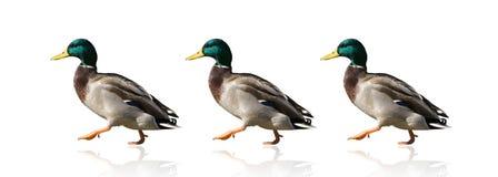 鸭子连续 免版税库存图片