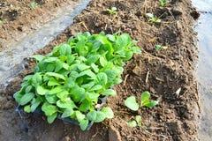 烟草植物在泰国的农场 免版税库存照片