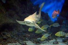 沿水中的鲨鱼游泳 库存照片