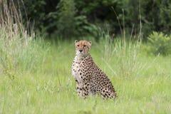 猎豹 库存图片