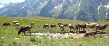 在阿尔卑斯的母牛 图库摄影
