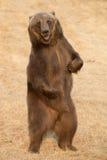 北美棕熊-北美灰熊 免版税图库摄影