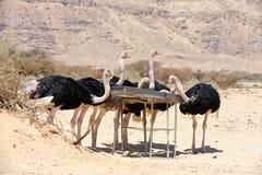 非洲驼鸟 库存照片