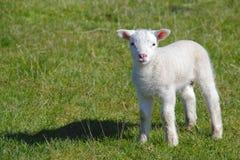逗人喜爱的羊羔 图库摄影