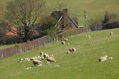 Αγρόκτημα γεωργίας με τα πρόβατα Στοκ εικόνα με δικαίωμα ελεύθερης χρήσης