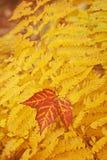 阿卡迪亚国家森林秋天上色蕨。 库存图片