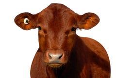 在空白背景的红色小牛 免版税库存照片