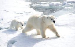母亲北极熊和崽 免版税图库摄影