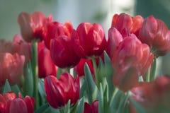关闭红色花在庭院里 免版税库存照片