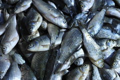 Свежие сырые рыбы Стоковые Фотографии RF