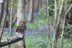黄褐色的猫头鹰在森林里 免版税图库摄影