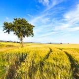 麦田跟踪、结构树和天空在春天。 农村横向。 免版税库存照片