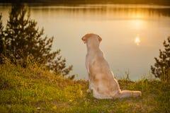 在湖的金毛猎犬 免版税库存照片