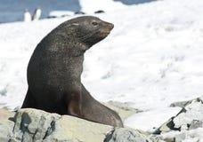 海狗坐在海滩的一个岩石。 免版税库存图片