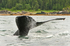 阿拉斯加驼背尾标比目鱼喷水 免版税图库摄影