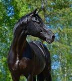 俄国骑马品种黑色公马  免版税图库摄影