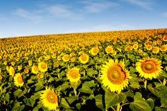 在山坡的向日葵 免版税库存图片
