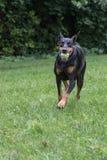 拿来球的短毛猎犬短毛猎犬 免版税库存图片