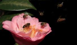 蜂蜜蜂群集山茶花开花 免版税库存图片