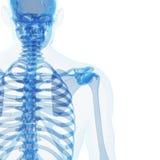 男性骨骼 免版税库存照片