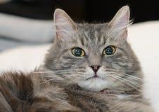 灰色毛茸的西伯利亚猫 免版税库存照片