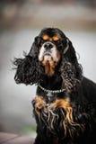 美国美卡犬纵向 免版税库存照片