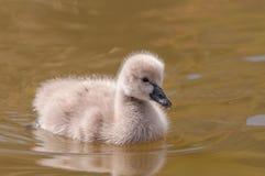 Лебедь младенца Стоковое Изображение RF