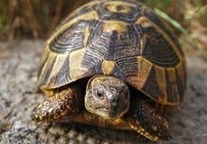 Δασική χελώνα Στοκ εικόνες με δικαίωμα ελεύθερης χρήσης