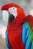 绿色金刚鹦鹉鹦鹉红色 库存图片