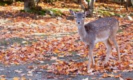 查看照相机的小鹿 免版税库存图片