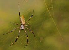 金黄天体蜘蛛 库存照片